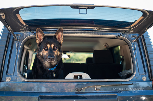 Kat Ku Photography_Bentley_German Shepherd_10