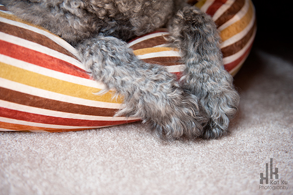 Ellie-the-Gray-Labradoodle_23