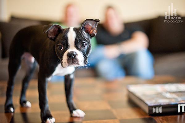 Kat-Ku-Photography_Boston-Terrier-Puppy04