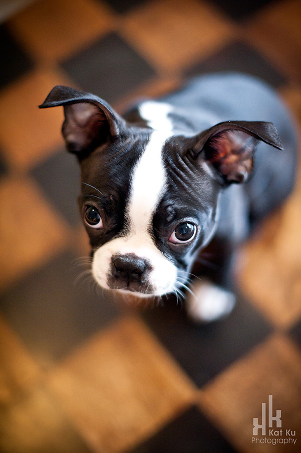 Franklin The Boston Terrier Puppy Oakland County Pet Photography