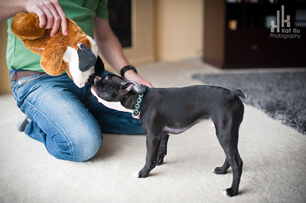 Kat-Ku-Photography_Boston-Terrier-Puppy11