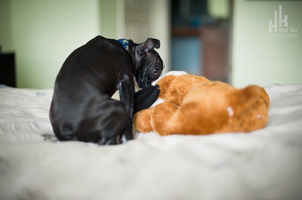 Kat-Ku-Photography_Boston-Terrier-Puppy15