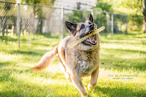Mythos the German Shepherd_07