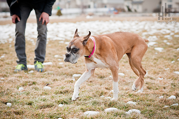 Sarah-the-Boxer_Modern-Pet-Photography_08