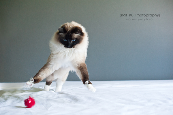 Kat-Ku-Photography_Achilles_Ragdoll-Cat_04