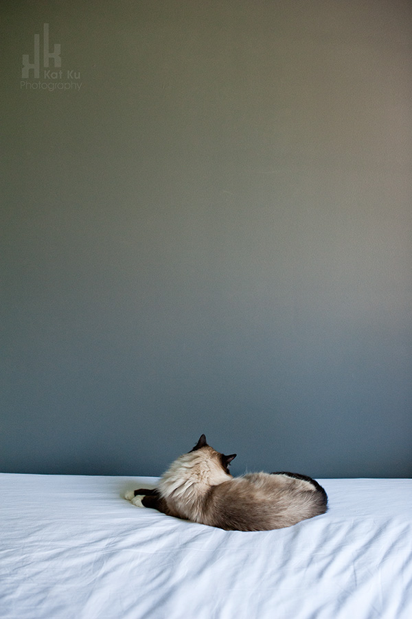 Kat-Ku-Photography_Achilles_Ragdoll-Cat_13