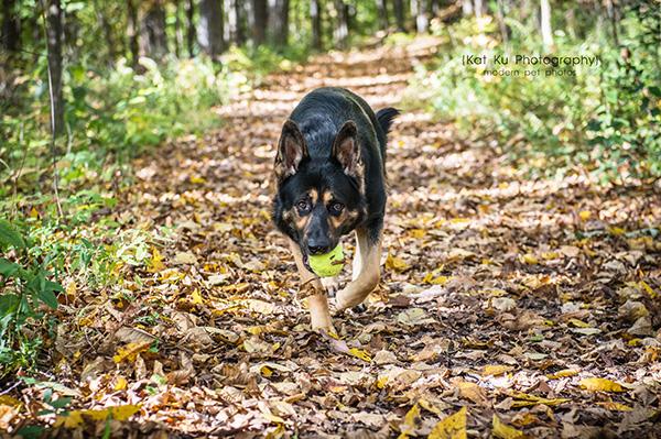Kat Ku Photography_Bentley_German Shepherd_08
