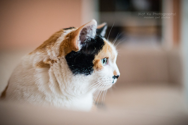 Kat Ku Photography_Adopt Munckin the Calico Cat_10