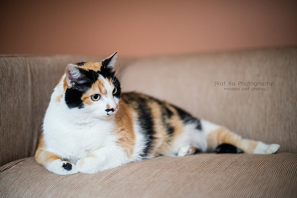 Kat Ku Photography_Adopt Munckin the Calico Cat_13