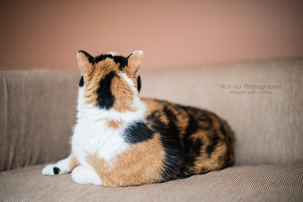 Kat Ku Photography_Adopt Munckin the Calico Cat_14