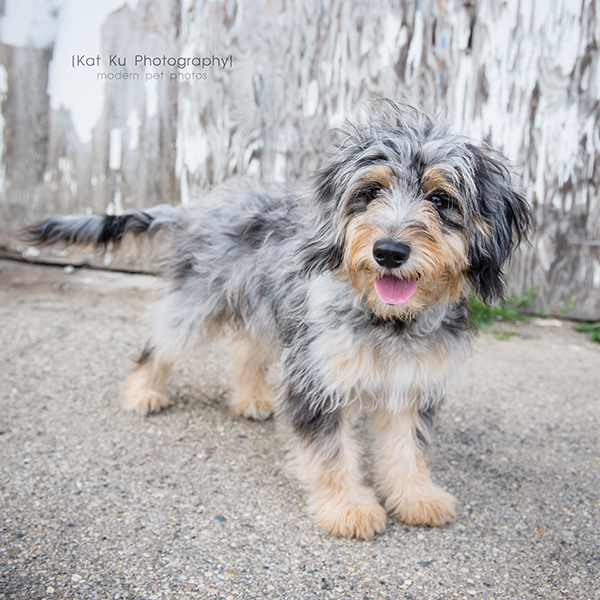 The Streets Session_Wrigley the AussieDoodle_05