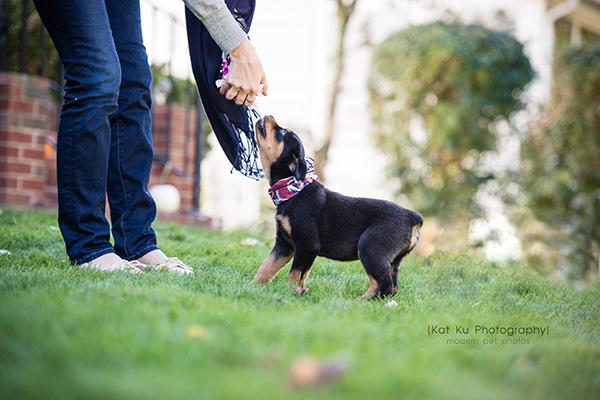 Kat Ku_Gia Rottweiler Puppy_13