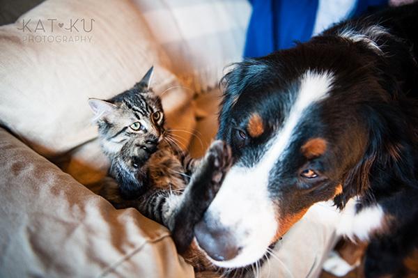 Kat Ku_Bernese Mountain Dog_Detroit Pet Photography_07