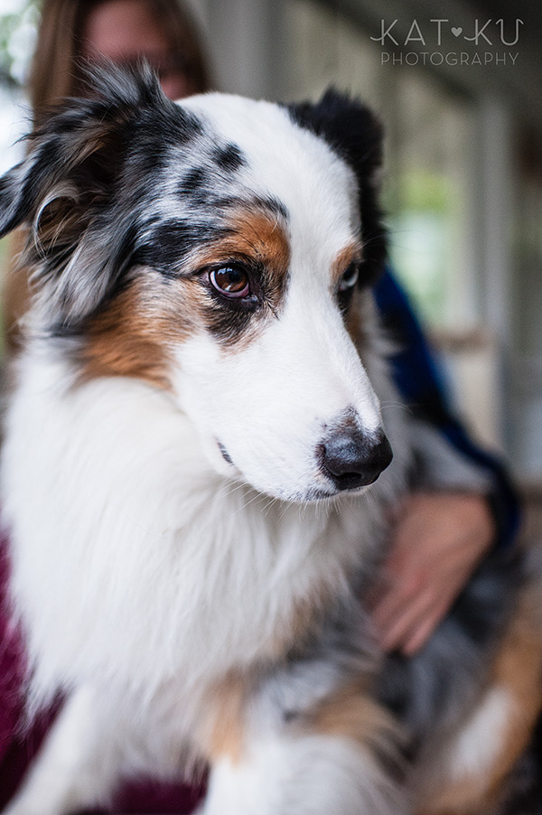 Kat Ku Photography - Ivan Australian Shepherd Royal Oak Michigan_04
