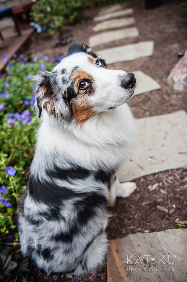 Kat Ku Photography - Ivan Australian Shepherd Royal Oak Michigan_08