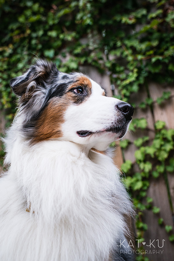 Kat Ku Photography - Ivan Australian Shepherd Royal Oak Michigan_18