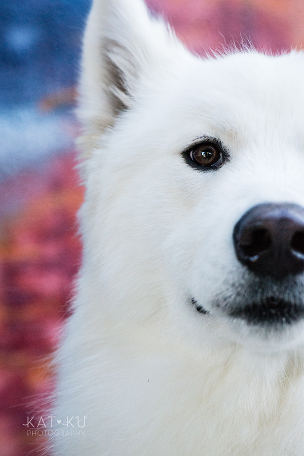 Kat Ku_Thor Samoyed_Pet Photography_06