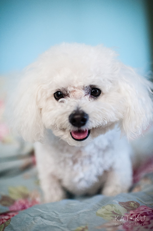 All Rights Reserved_Kat Ku_Chicago Pet Photography_Snowball_12
