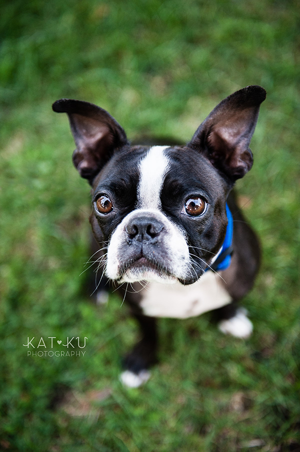 All Rights Reserved_Kat Ku_Franklin Boston Terrier_01