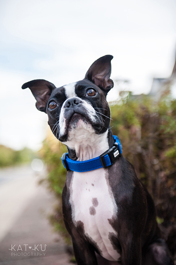 All Rights Reserved_Kat Ku_Franklin Boston Terrier_02