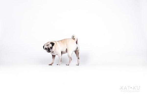 Kat Ku Photography - Cosmo Rah Frenchie Pug_05