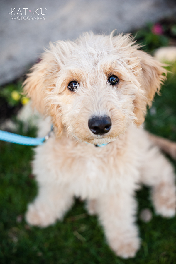 Kat Ku Pet Photography - Minnie Goldendoodle_04