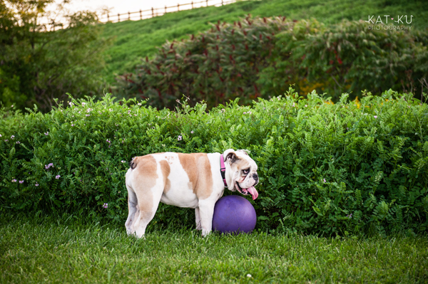 kat-ku-gemma-english-bulldog-pet-photography_18