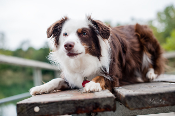 kat-ku-photography-dakota-australian-shepherd_07